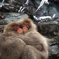Snow monkey babies hug each other.<br />