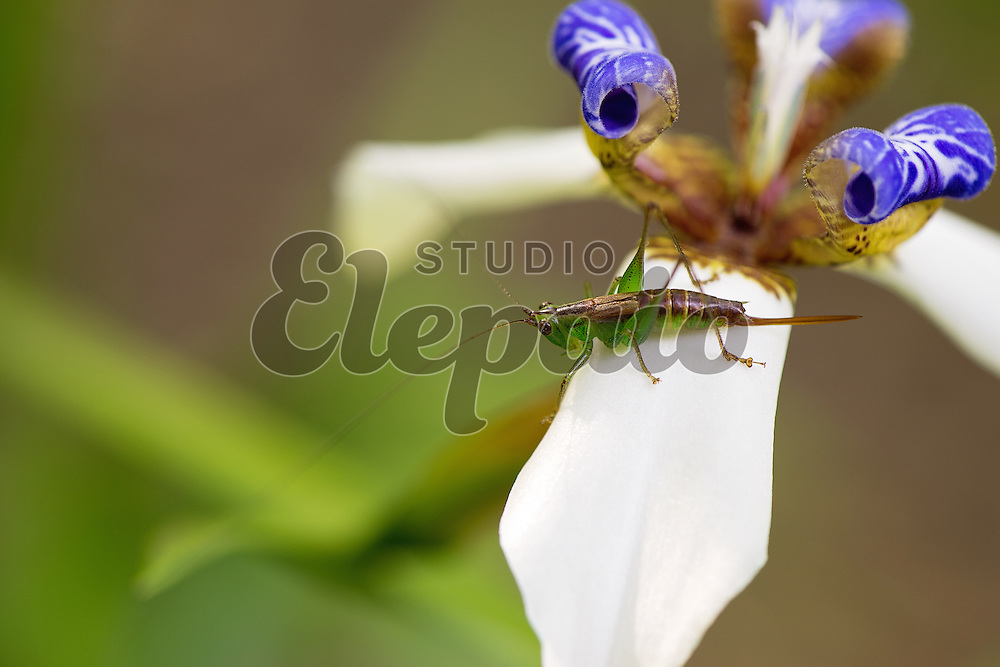 A grasshopper on a flower of walking iris. Photographed near Aihualama Falls in Manoa, Honolulu, Hawaii.