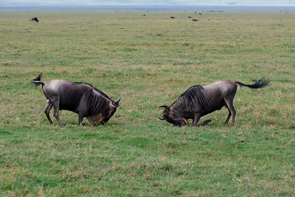 (Connochaetes taurinus) Two Western White-bearded Wildebeests (also known as a Gnu) face off in a competition for dominance. Ngorongoro Conservation Area, Tanzania