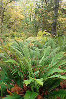 Fern in West Coast rain forest, Vancouver Island BC