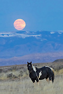The wild stallion, Siska, pauses under the rising Super Moon at McCullough Peaks Herd Management Area.