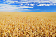 Field of oats<br /> near Piapot<br /> Saskatchewan<br /> Canada