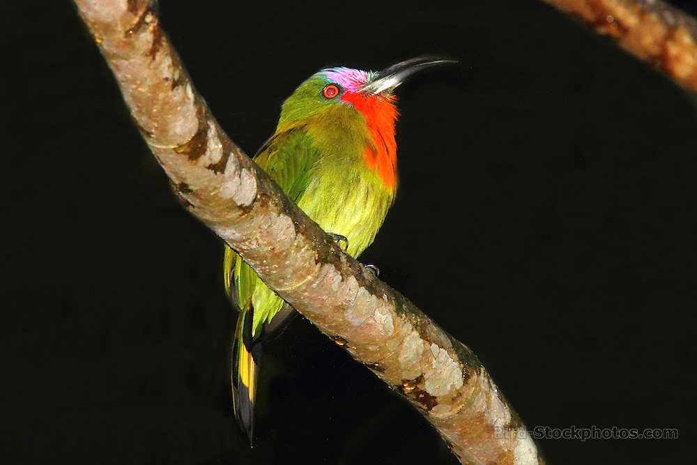 Red-bearded Bee-eater, Nyctyornis amictus, Tabin Wildlife Reserve, Sabah, Borneo, Malaysia, by Adam Riley