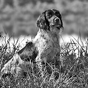 Photography of spaniels in the field, during an AKC approved Hunt Test.  Hunt Test took place at the West Allis Dog Training Club. In Big Bend WI, May 29, 2010..