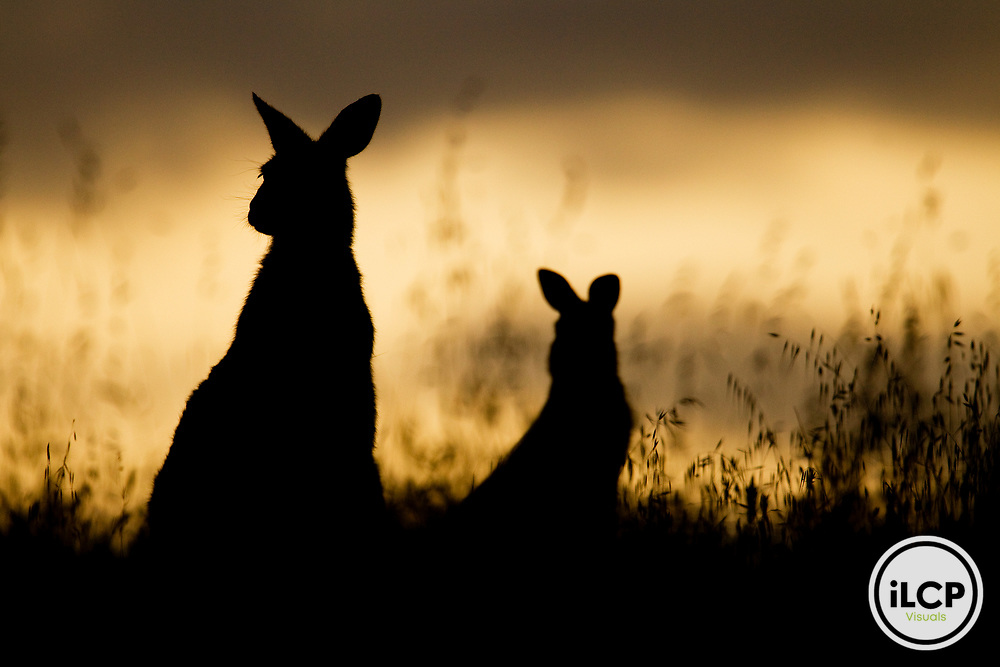 Eastern Grey Kangaroo (Macropus giganteus) mother and joey at sunrise, Mount Taylor Nature Reserve, Canberra, Australian Capital Territory, Australia