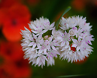 White Allium Flowers. Image taken with a Fuji X-H1 camera and 80 mm f/2.8 macro lens