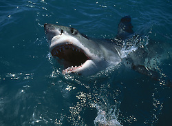 Jan. 06, 2009 - GREAT WHITE SHARK attracted by bait. Carcharodon carcharias. Gansbaai. Western Cape. South Africa. (Credit Image: © Nick Garbutt/Evolve/Photoshot/ZUMAPRESS.com)