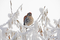 Winter storms bring snow and frost to northern Utah the end of December 2016 this male American Kestrel sits fluffed up on top of a frosty tree conserving body heat.
