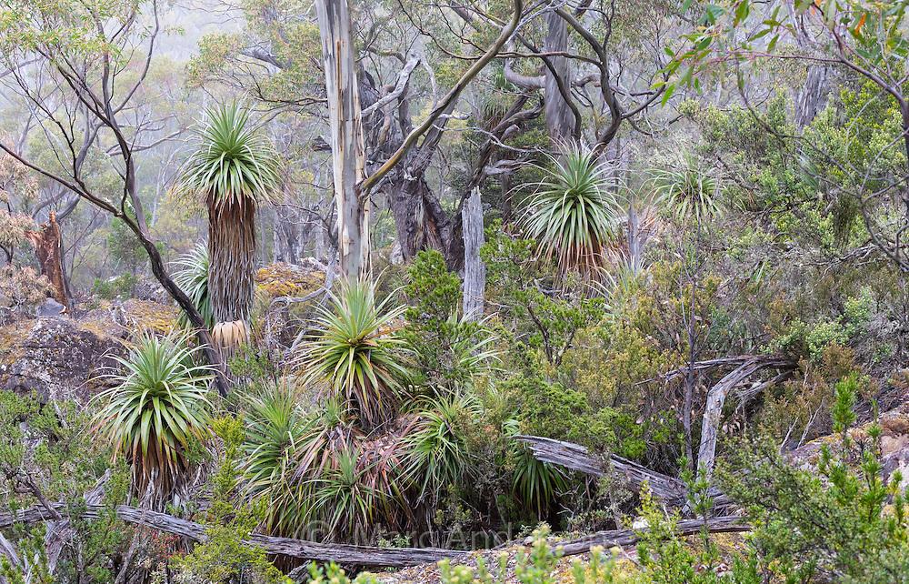 Pandani (Richea pandanifolia) in a subalpine woodland in Mount Field National Park, Tasmania, Australia