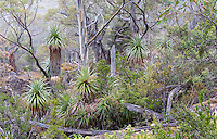 Pandani (Richea pandanifolia) in a subalpine woodland in Mount Field National Park, Tasmania, Australia