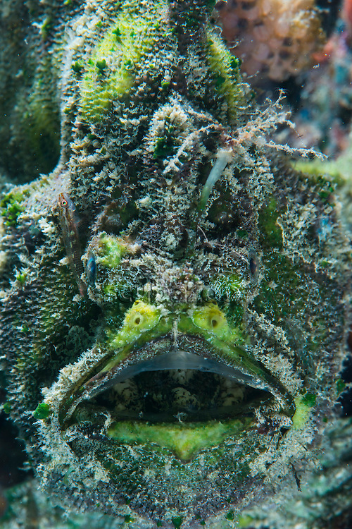 Three Spot Frogfish, Lophiocharon trisignatus, with eggs attached to body, Tunku Abdul Rahman Marine Park, Sabah, Borneo, East Malaysia.