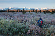 An early morning hiker on the tundra contemplating The Alaska Range, Denali National Park, Alaska