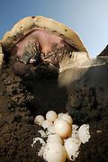 After digging a hole of 30 to 50 centimetre depth with its rear flippers the olive ridley sea turtle (Lepidochelys olivacea) lays approx. 100 eggs. | Hat eine weibliche Oliv-Bastardschildkröte (Lepidochelys olivacea) am Strand einen geeigneten Platz gefunden, gräbt sie mit ihren Hinterflossen ein dreißig bis fünfzig Zentimeter tiefes Loch. Etwas Hundert weichschalige Eier werden in das Nest gelegt, das anschließend sorgfältig mit Sand bedeckt, mit Hinterflossen und Bauchpanzer festgeklopft und mit Hilfe der Vorderflossen mit lockerem Sand getarnt wird.