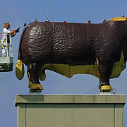 """Jeff Foster, a painter with Goens Bros. Inc. Painting, gave the fiberglass hereford at the American Hereford Association a fresh coat of paint. Foster, who said the painting of the bull was """"coincedental"""" to the beginning of the American Royal Barbeque contest at Kemper Arena, said the painting will continue on Monday."""