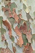 Bark of American sycamore (Platanus occidentalis), winter, Eno River State Park, North Carolina