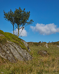 A lone holly tree grows amongst boulders on Haytor Down Dartmoor Devon England