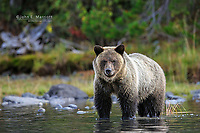 Grizzly bear, British Columbia, Canada