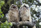 Wildlife: Owl, Great Horned Owl