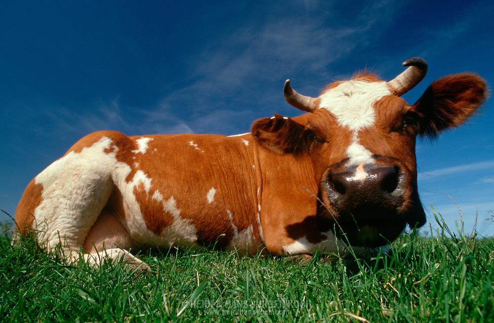 DEU, Deutschland: Hausrind (Bos taurus), Kuh liegt auf der Weide und ruht, Rasse: Rotbunte, Norddeutschland   DEU, Germany: Domestic cattle (Bos taurus), cow resting on feedlot, race: Red Holstein, Northern Germany  