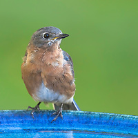 Young female eastern bluebird (Sialia sialis) pauses between drinks from blue birdbath in backyard setting.