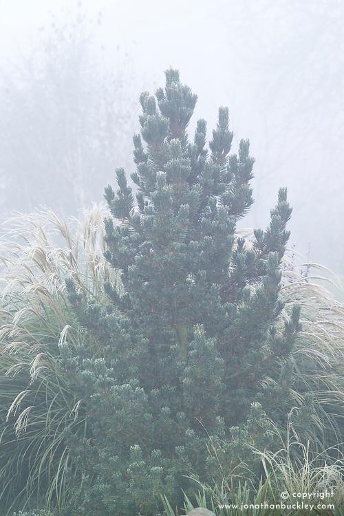 Pinus thunbergii syn. P. thunbergiana in winter - Japanese black pine