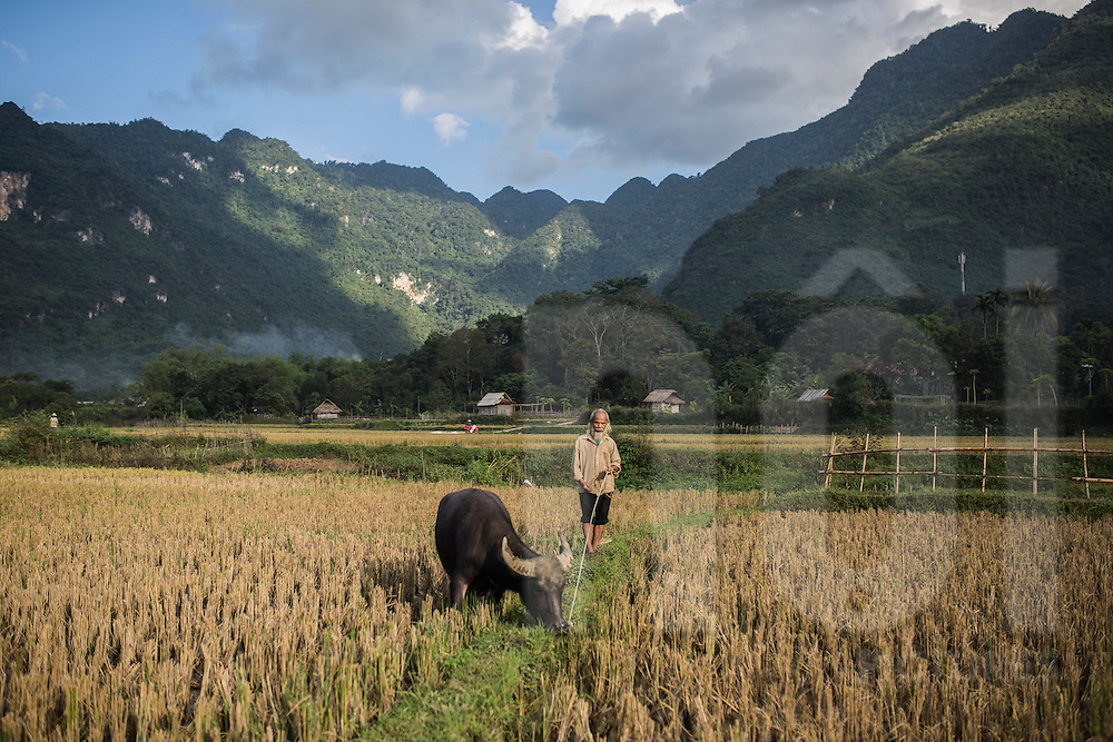 An elderly man takes his buffalo to a field to graze, Mai Chau, Hoa Binh Province, Vietnam, Southeast Asia