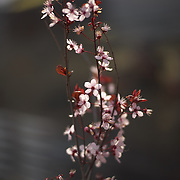It is spring here and the cherry blossoms are doing their thing.