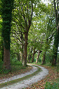 Avenue of tall plane trees and looming canopy of branches form curve bend on road to nowhere in Aquitaine France