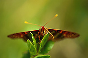 Face on view of butterfly with yellow antenna on leaf with fuzzy backround.