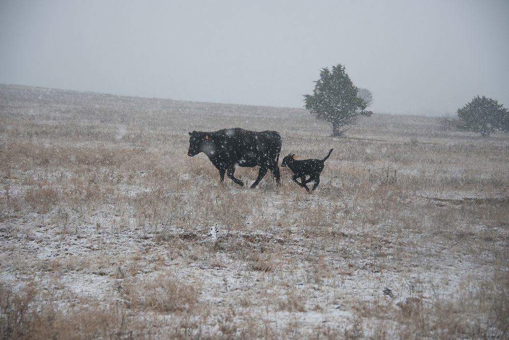 Cattle in winter snow storm west of Stillwater Oklahoma