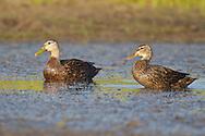 Mottled Duck - Anas fulvigula - male and female