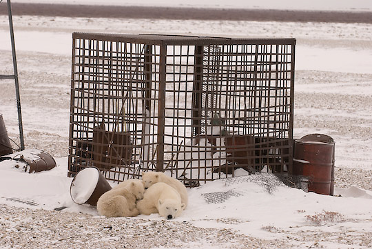 Polar Bear (Ursus maritimus) mother and her two cubs take a rest near the old cage that was used at CApe churchill for studying polar bear behaviour.