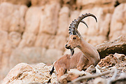 Israel, Negev, Nubian Ibex (Capra ibex nubiana AKA Capra nubiana) close up of a large mature Male