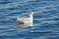 Herring Gull (Larus argentatus) swimming, Crescent Beach, Nova Scotia, Canada