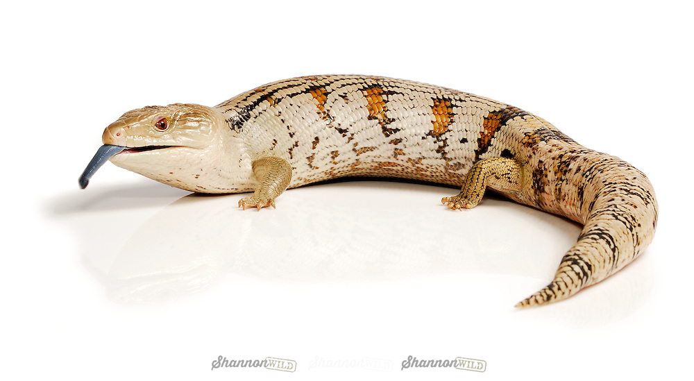 Eastern Blue Tongued Skink (Tiliqua scincoides scincoides) tasting its environment.  Native to Australia. Male
