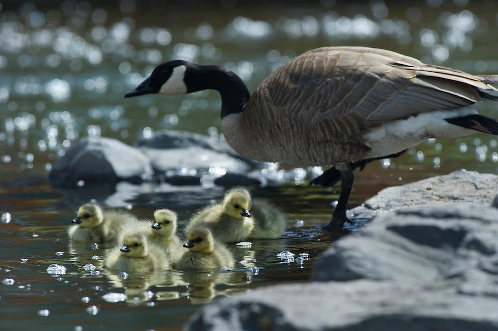 Baby goslings feed along the Deschutes River