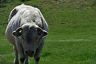 14/04/11 - AUBRAC - AVEYRON - FRANCE - Taureau Charolais - Photo Jerome CHABANNE