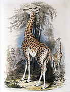 Giraffe browsing on tree. Jean Lamarck (1744-1829) French naturalist, considered the giraffe illustrated his 'Transformism' (inheritance of acquired characteristics) theory of evolution. Hand-coloured engraving published 1836.