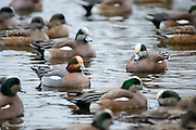 I spotted this Eurasian Widgen in the flock of American Widgens.  It blended in quite well and I only saw it when I looked carefuly through the several hundred birds in the group.