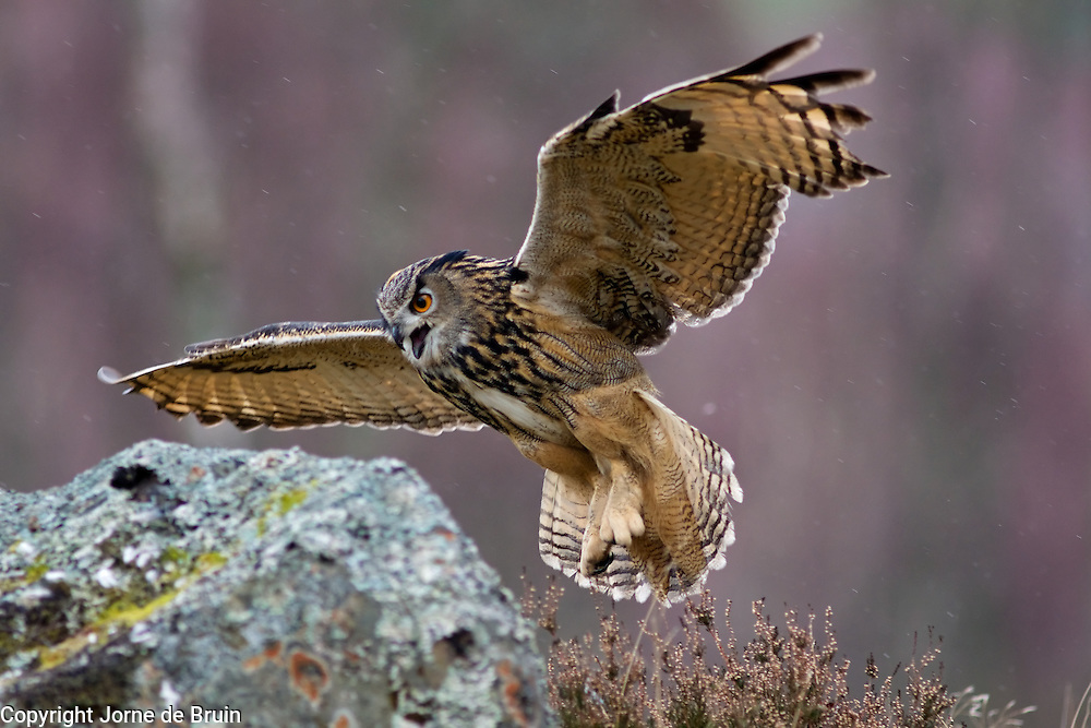 An Eurasian Eagle Owl is about to land on a rock in the Cairngorms National Park in Scotland