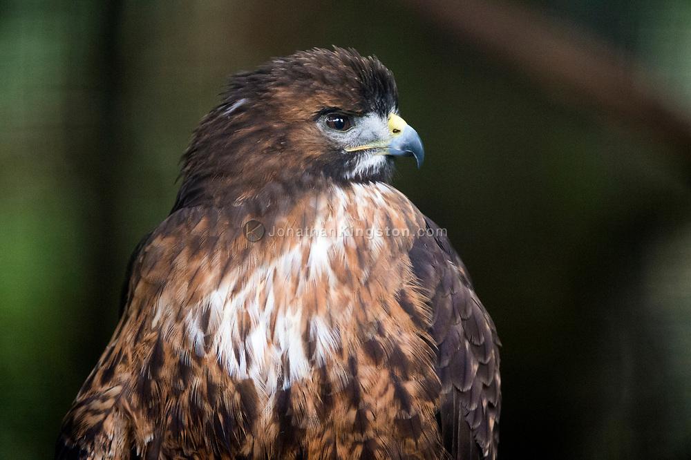 A Golden Eagle (Aquila chrysaetos) at the Alaska Raptor Center.
