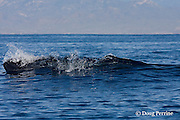 Bryde's whale, Balaenoptera brydei or Balaenoptera edeni, surfacing off Baja California, Mexico ( Eastern Pacific Ocean )