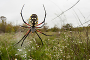 A black and yellow Argiope (Argiope aurantia) in a field - Oxford, Mississippi