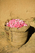 KELAAT M'GOUNA, MOROCCO - 14TH MAY 2016 - Harvested rose flowers in a hessian sack at a rose farm in Kelaat M'Gouna, Dades Valley - also known as the Valley of Roses - Southern Morocco.
