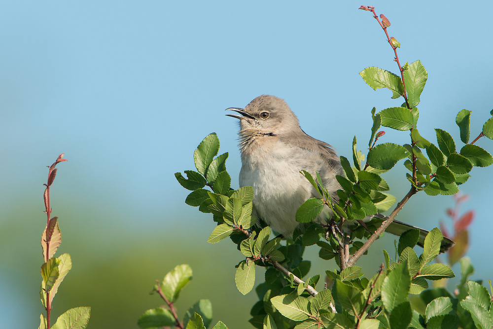 A vocalizing Northern Mockingbird (Mimus polyglottos), White Rock Lake, Dallas, Texas