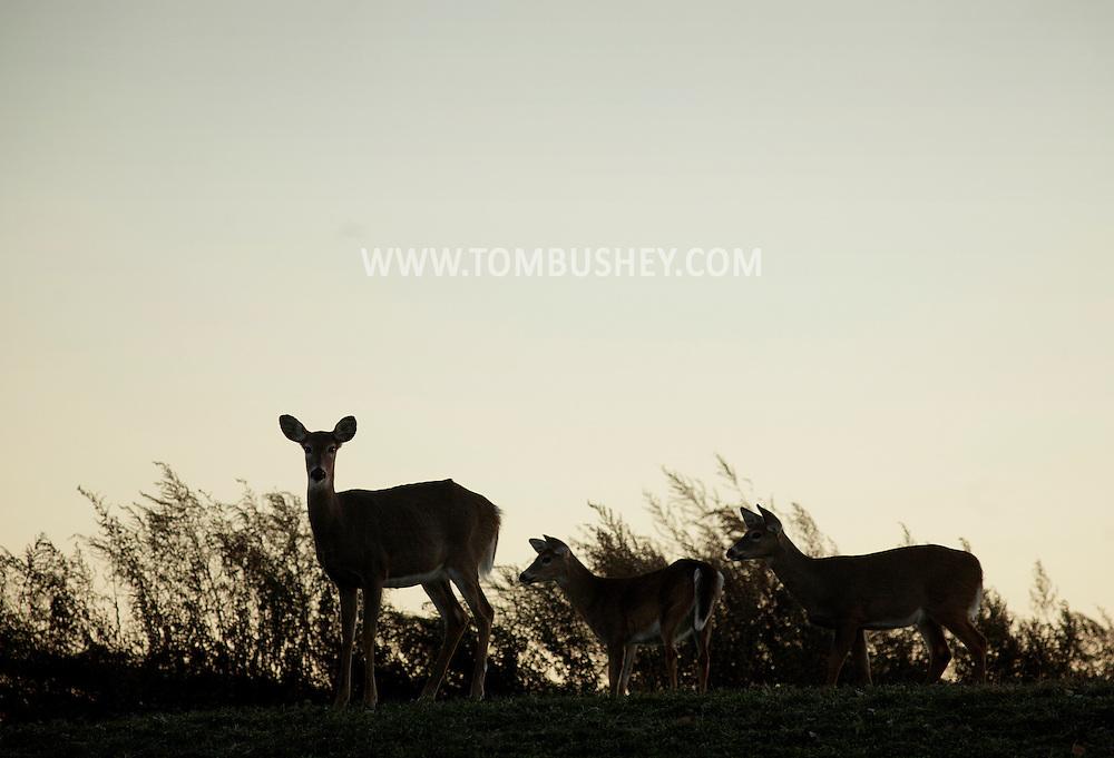 Goshen, New York - Three white-tailed deer (Odocoileus virginianus) on a ridge at sunset on Nov. 6, 2011.