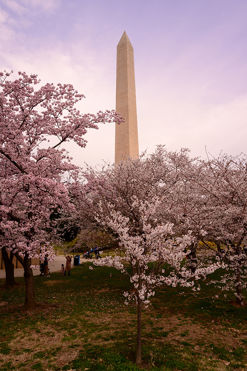 Washington, DC, USA — March 30, 2019. The Washington Monument seen through blooming cherry blossoms on a Spring morning.