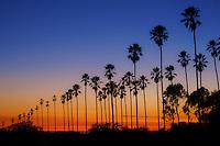 Palm Trees @ Sunset, Elysian Fields, Los Angeles