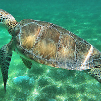 Green Sea Turtle Swimming in Akumal, Mexico<br /> Along the Riviera Maya on the Yucat&aacute;n Peninsula of Mexico is the small town of Akumal.  In Mayan this means &ldquo;place of the turtle.&rdquo;  It is well named because you can swim along with green sea turtles at Akumal Bay. It is estimated they lay 70,000 eggs during their breeding season of May through October. At maturity they reach five feet and hundreds of pounds. Simply gorgeous!  But look and don&rsquo;t touch them or their habitat. They are endangered and their ecosystem is fragile.