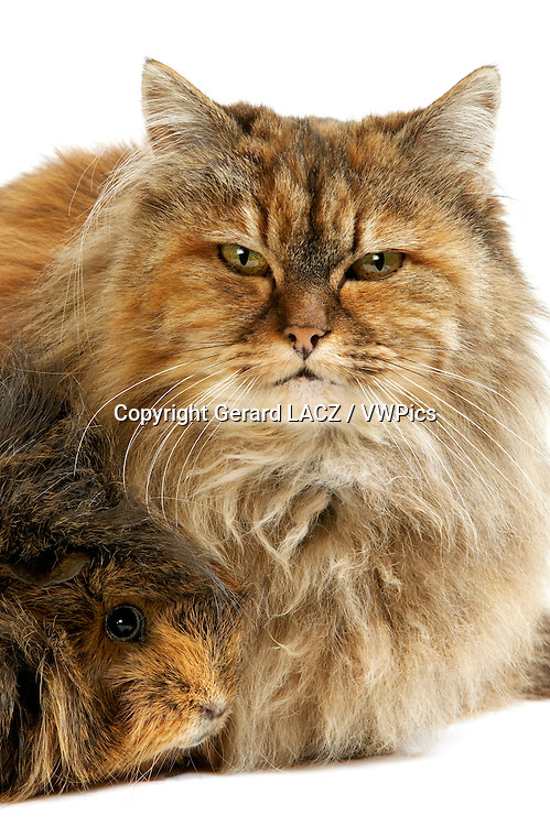 Tortoiseshell Persian Domestic Cat and Long Hair Guinea Pig against White Background